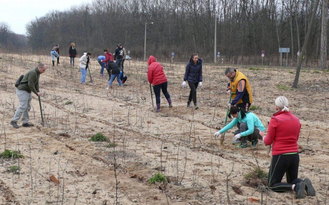 Önkéntes faültetések a Sóstói-erdőben